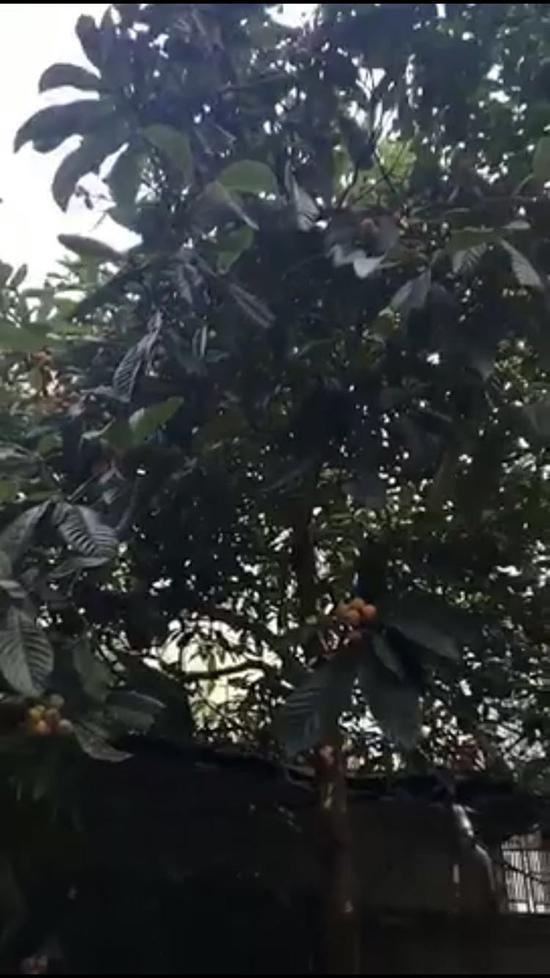 被砍之前的枇杷树。 浦女士提供的视频截图