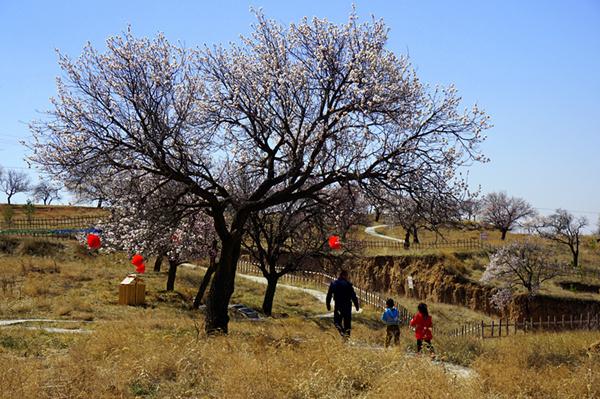 和林格尔第三届台格斗杏花节开幕