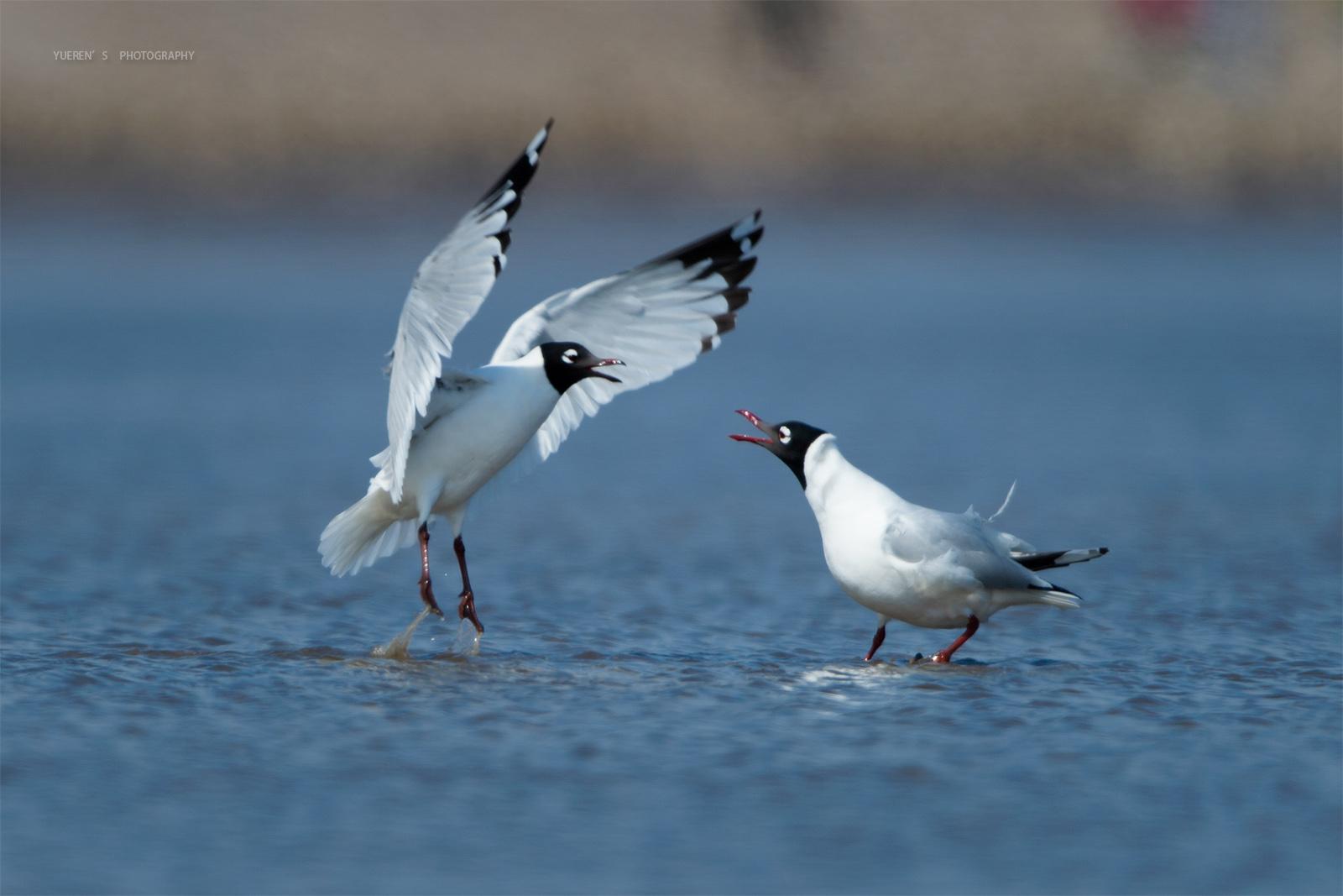 世界濒危物种遗鸥现身内蒙古奈伦湖