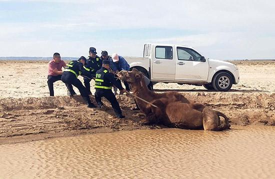 民警将滑入泥潭的母骆驼救出。