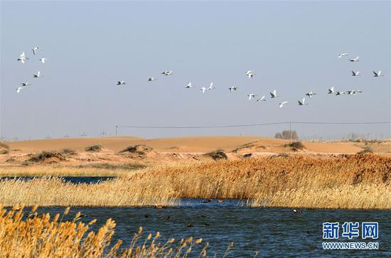 11月7日,候鸟在内蒙古乌兰布和沙漠境内的天鹅湖附近飞翔。新华社发(马学献 摄)