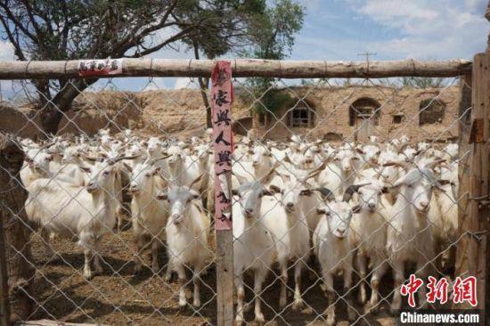 """图为皇锁威家的""""扶贫羊""""。"""