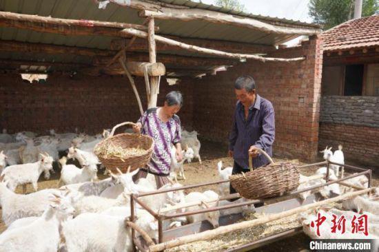 图为皇锁威夫妇在喂羊。