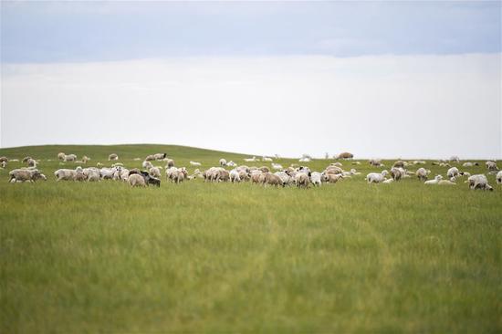 这是7月16日在内蒙古呼伦贝尔市新巴尔虎右旗克尔伦苏木拍摄的芒来嘎查草场上的羊群。 新华社记者 贝赫 摄