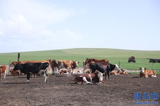 图为其日麦拉图家的部分牛和马。新华网记者 焦鹏摄