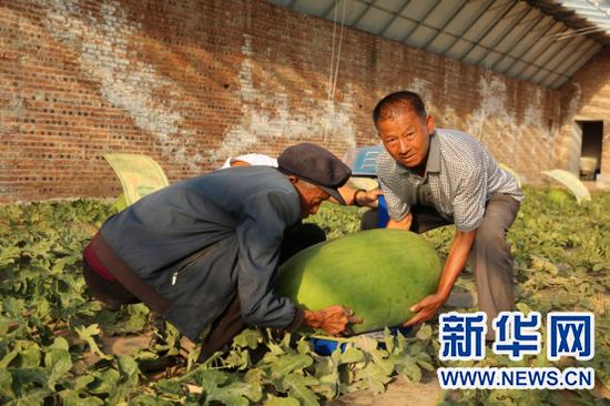 周伟(左一)和田伟世正在称量西瓜。新华网 杨腾格尔 摄