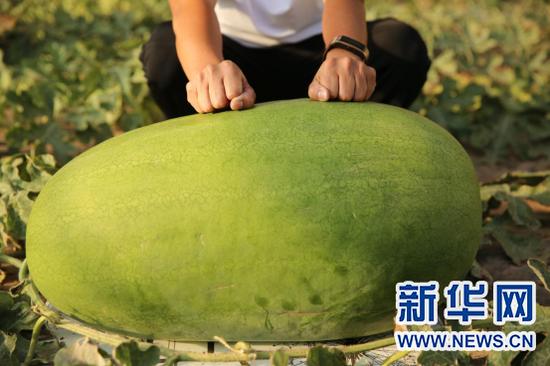 生长中的近百斤大西瓜。新华网 杨腾格尔 摄