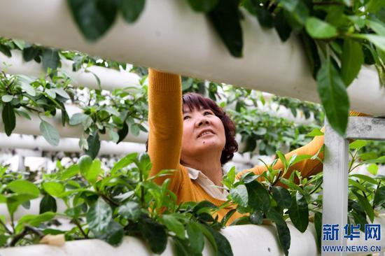 农民在内蒙古自治区巴彦淖尔市五原县隆兴昌镇的一个现代农业试验示范区内采摘无土栽培的蔬菜。新华社记者 刘磊 摄