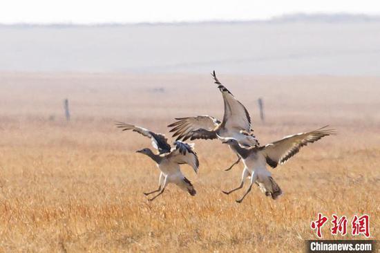 图为两只候鸟在图牧吉国家级自然保护区嬉戏。 毕力格 摄
