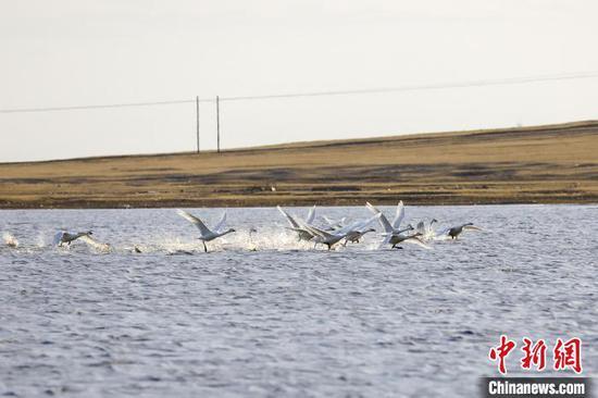 图为候鸟在水中嬉戏。 毕力格 摄