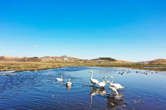 国门下滩涂上出现的天鹅