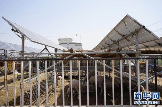 5月13日,内蒙古巴彦淖尔市五原县隆兴昌镇联星村村民在光伏电板下发展养殖业。新华社记者 侯维轶 摄