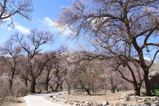 杏花搭台旅游唱戏 呼和浩特回民区乌素图杏花节开幕