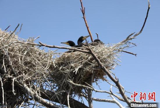 图为鸬鹚幼鸟。 杭锦旗官方供图