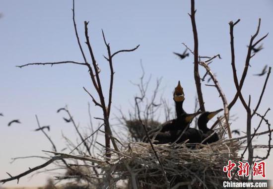 图为鸬鹚幼鸟嗷嗷待哺。 杭锦旗官方供图