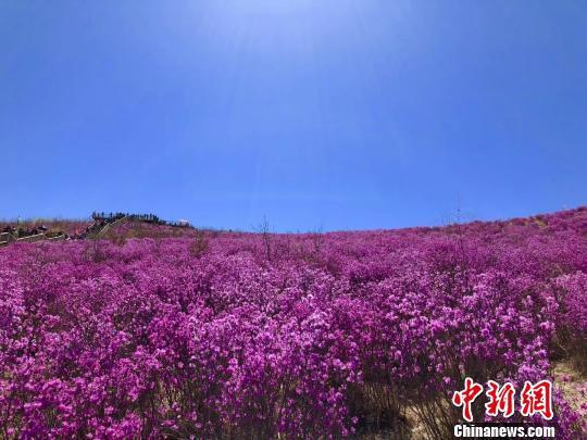 图为呼伦贝尔扎兰屯杜鹃花海吸引大量游客。内蒙古文化和旅游厅供图