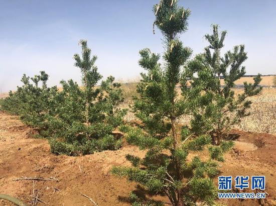 库布其沙漠花香大道穿沙公路两旁种植的树木。新华社记者哈丽娜摄