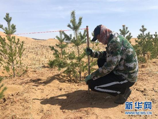 工人正在量植树距离。新华社记者哈丽娜摄