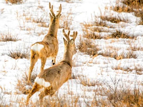 灵动的黄羊在冬日雪原上自由自在犹如草原大地上跃动的音符