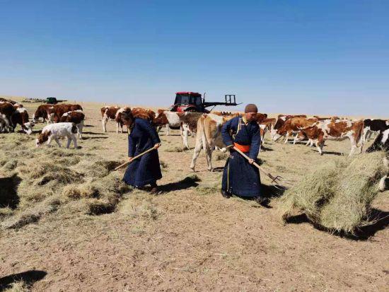 图为胡斯楞胡和妻子给牛添草。
