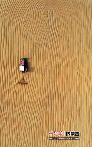图为内蒙古自治区呼伦贝尔农垦特泥河农牧场职工正在晾晒小麦。陈晓娟 摄