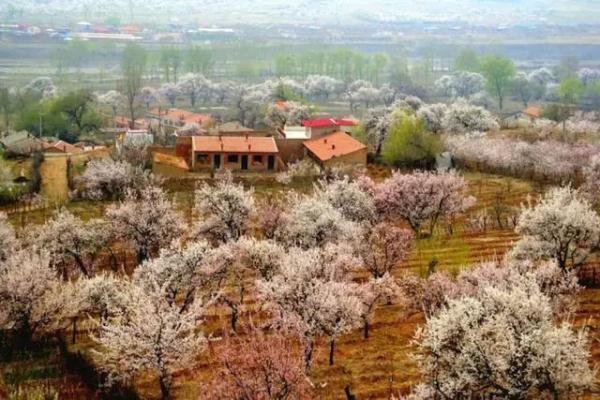 呼和浩特市乌素图杏花最佳观赏期:18~25日...