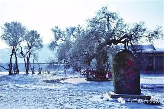 ●大榆树(卓资) 摄影:张建新