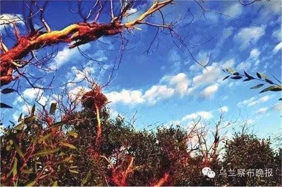 ●杜尔伯特草原胡杨 摄影:特格西