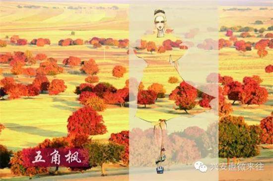 五角枫的枫叶,热情似火的橘色,满满的元气。