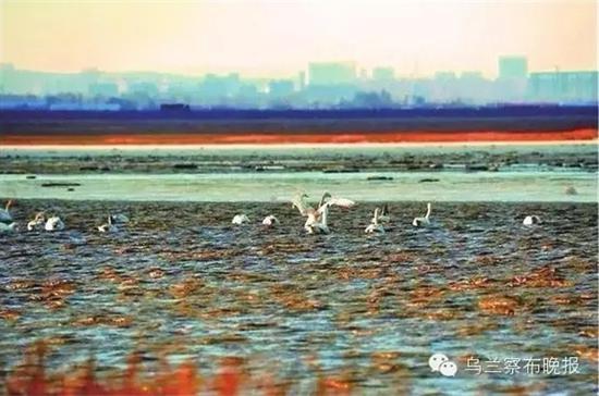 ●黄旗海天鹅 摄影:特格西