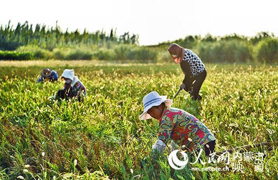 乌审旗国有达镇苗圃工人正在给沙地柏种苗除草