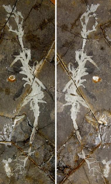 宁城中华草化石照片。(中国科学院南京地质古生物研究所供图)