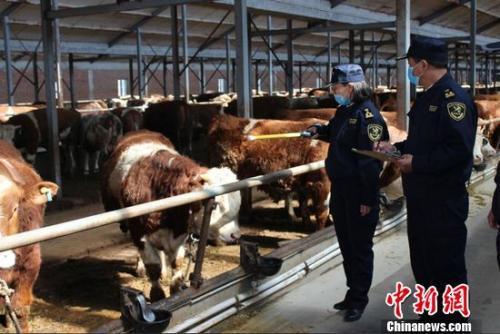 图为满洲里海关隶属通辽海关关员正在对供港黄牛进行监管。满洲里海关供图