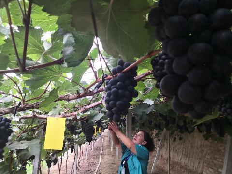 图为游客采摘葡萄。