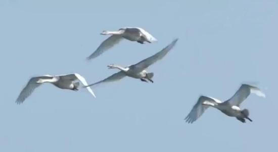 内蒙古黄河流域湿地迎来大量候鸟迁徙高峰