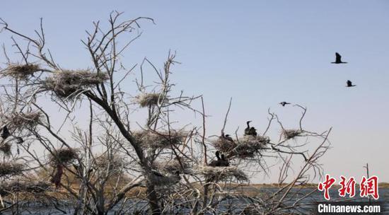 图为一棵树上的数个鸟巢。 杭锦旗官方供图