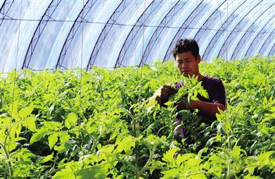 大棚蔬菜成为大明镇脱贫致富的主导产业。娜仁 摄