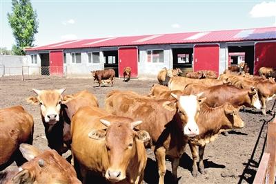 武川县上秃亥乡肉牛养殖项目。