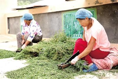 武川县建档立卡贫困户参与扶贫产业山茶种植加工。