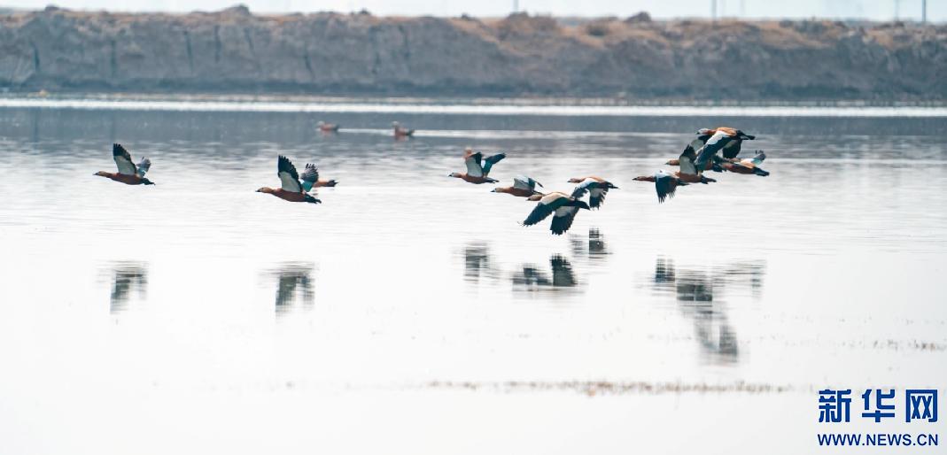 野鸭在海流水库水面上飞翔