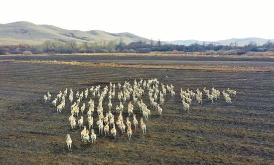 阿尔山市口岸附近出现200余只野生黄羊