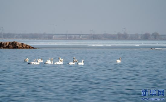 成群的天鹅在海流水库停歇休养