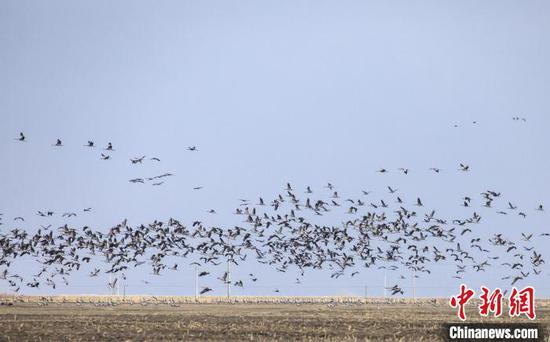 图为内蒙古图牧吉国家级自然保护区迎来大批迁徙候鸟。 毕力格 摄