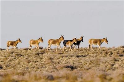 蒙古野驴群出现在中蒙边境(由孙智广提供)