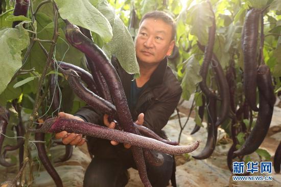 15日,农业园区工作人员展示生长旺盛的蛇形茄子。(新华网曹桢摄)