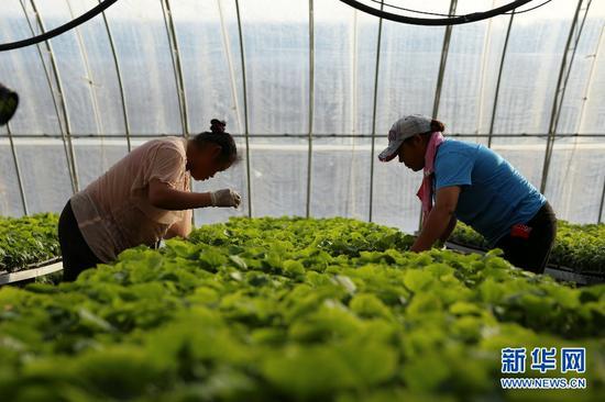 15日,工人在育苗温室查看种苗情况。(新华网曹桢摄)