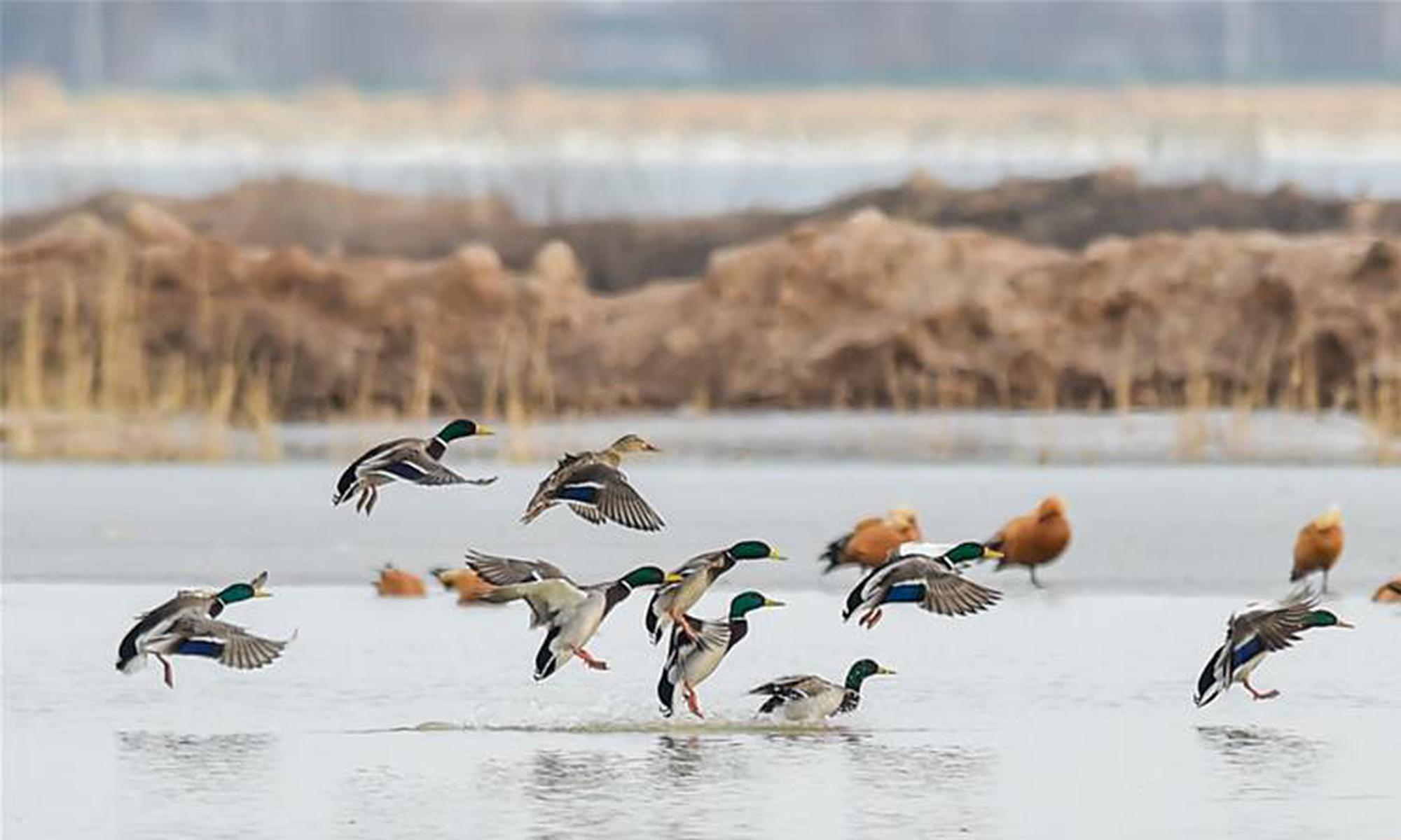 呼和浩特海流水库迎来迁徙候鸟
