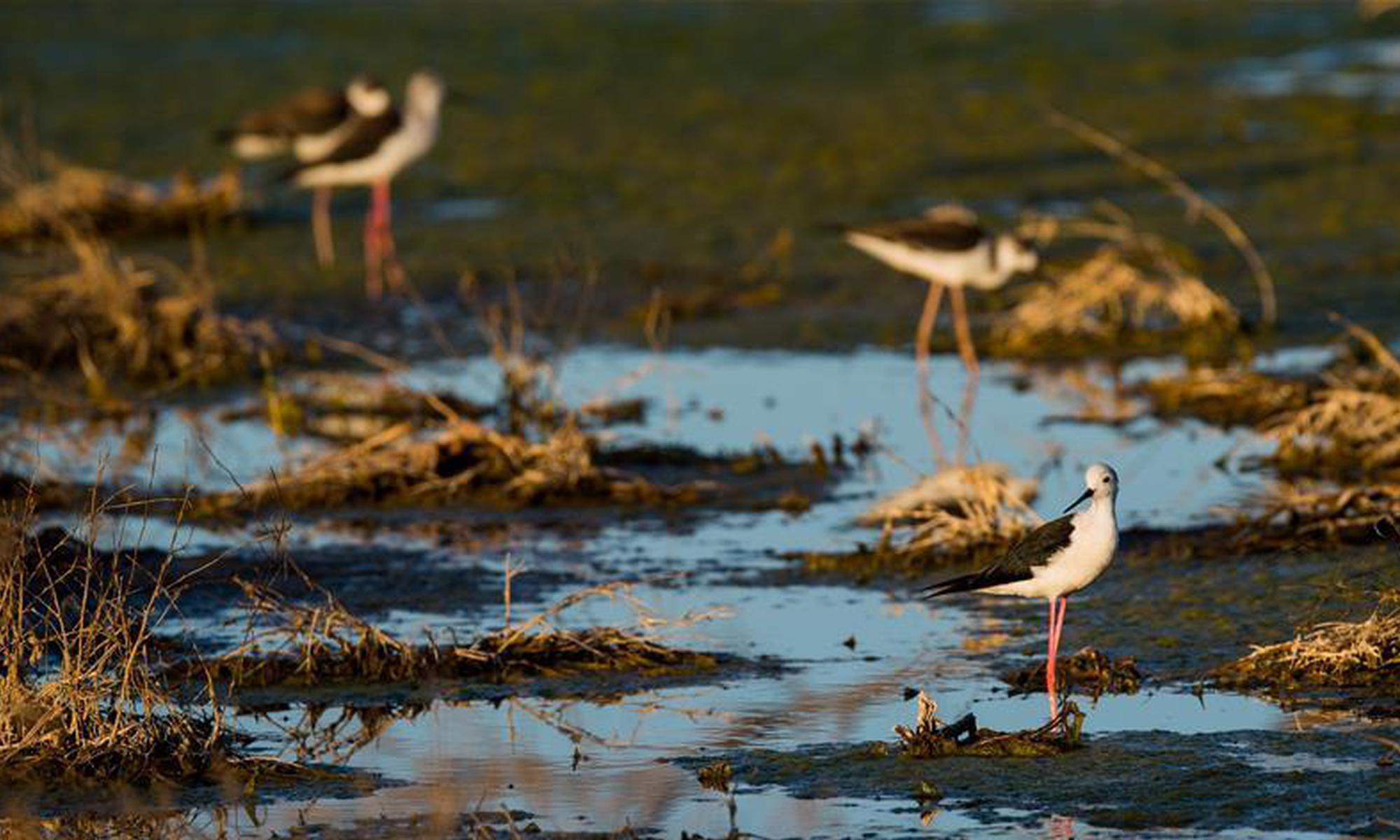 候鸟安居鄂尔多斯湿地
