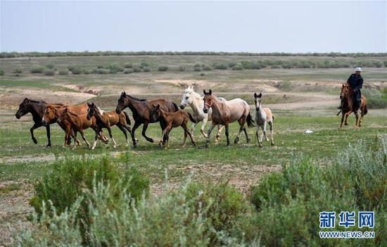 """呼日查毕力格在度假营赶着马群(7月21日摄)。 今年35岁的呼日查毕力格是内蒙古赤峰市巴林左旗查干哈达苏木的牧民。从小喜欢蒙古马的他经过20年的努力,使自家的马群不断壮大,从最初的1匹发展到如今的100多匹。现阶段呼日查毕力格把主要精力放在了培养优秀的蒙古赛马上,这样既可以有较高的收入,又能够让蒙古马得到更多人的认可。 2018年3月,呼日查毕力格在自己的家乡查干哈达苏木创建了""""黑骏马旅游度假营""""。在他的度假营中,游客可以亲身参与到挤马奶、骑马、打马印、剪马鬃等丰富多彩的马文化体验项目中,深入了解蒙古马独特的生活习性和特点。 新华社记者 彭源 摄"""