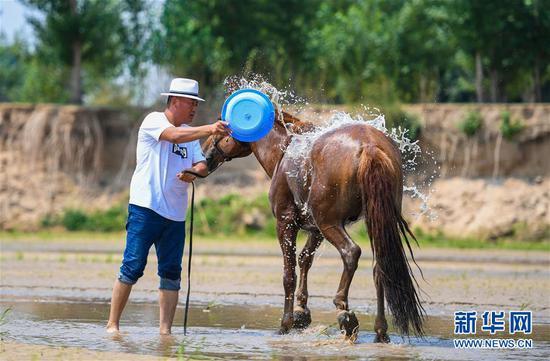 """呼日查毕力格为马洗澡(7月21日摄)。 今年35岁的呼日查毕力格是内蒙古赤峰市巴林左旗查干哈达苏木的牧民。从小喜欢蒙古马的他经过20年的努力,使自家的马群不断壮大,从最初的1匹发展到如今的100多匹。现阶段呼日查毕力格把主要精力放在了培养优秀的蒙古赛马上,这样既可以有较高的收入,又能够让蒙古马得到更多人的认可。 2018年3月,呼日查毕力格在自己的家乡查干哈达苏木创建了""""黑骏马旅游度假营""""。在他的度假营中,游客可以亲身参与到挤马奶、骑马、打马印、剪马鬃等丰富多彩的马文化体验项目中,深入了解蒙古马独特的生活习性和特点。 新华社记者 彭源 摄"""